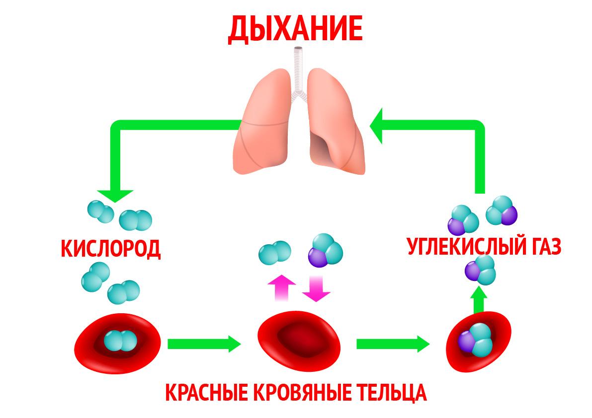 В организме взрослого человека содержится от 10 до 14 мг селена.